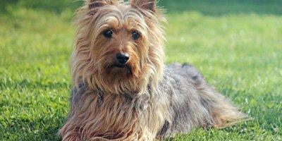 24 Honden die niet (of nauwelijks) verharen 19
