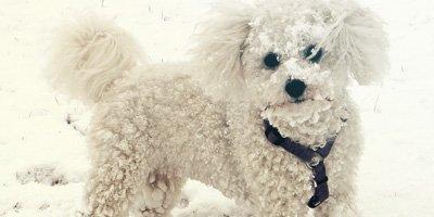 24 Honden die niet (of nauwelijks) verharen 25