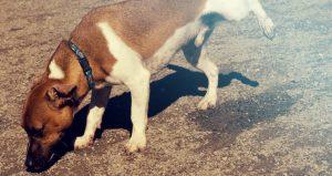 Hoe kun je een puppy zindelijk maken