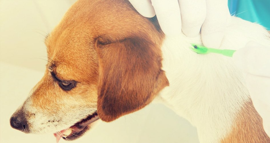 Teek (tekenbeet) bij hond verwijderen