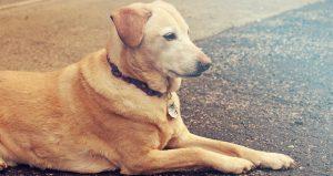 Lees meer over het artikel Labrador Retriever