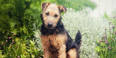 24 Honden die niet (of nauwelijks) verharen 16