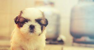 10 Populaire Hypoallergene Honden