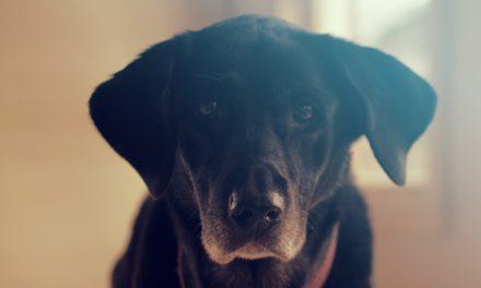 Doofheid bij honden