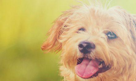 Hondenvlooien: oorzaak en de beste antivlooien middelen