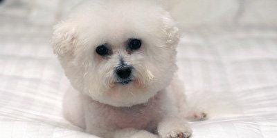 hypoallergene hond bichon frise