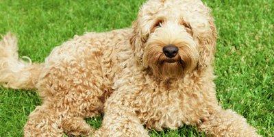 hypoallergene hond labradoodle