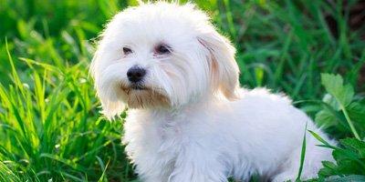 hypoallergene hond maltese