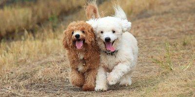 hypoallergene hond poodle
