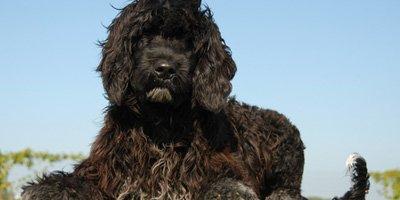 hypoallergene hond portugese waterhond