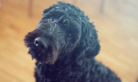 Hoe benchtrain je een puppy of volwassen hond