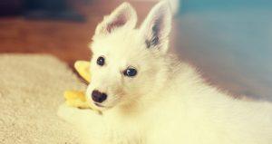Stapsgewijze Handleiding voor het Opvoeden van je Puppy: De Nieuwe Methode!