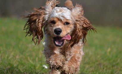 kleine hond Amerikaanse Cocker Spaniël