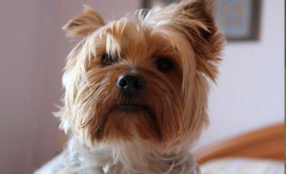 kleine hond Australische Silky Terriër