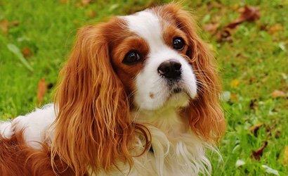 kleine hond Cavalier King Charles Spaniël