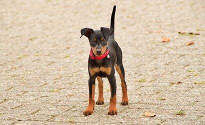 kleine hond Dwergpinscher
