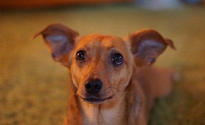 kleine hond Italiaans Windhondje