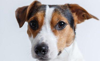 kleine hond Jack Russel