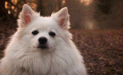 kleine hond Japanse Spits