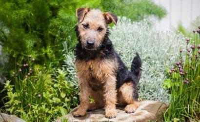 kleine hond Lakeland Terriër
