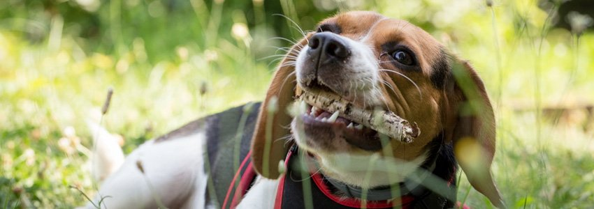 De 10 meest voorkomende problemen bij honden 2