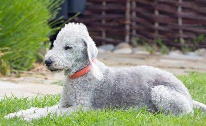 kleine hond Australische Terriër