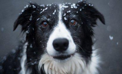 kleine hond Bichon Frisé