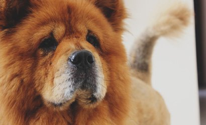 kleine hond Bosten Terriër