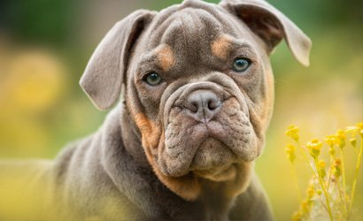 kleine hond Cairn Terriër