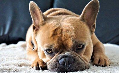 kleine hond Cocker Spaniël