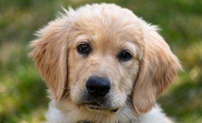 kleine hond Dandie Dinmont Terriër
