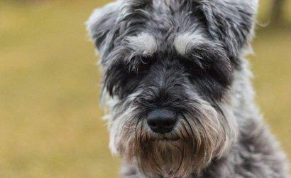 kleine hond King Charles Spaniël